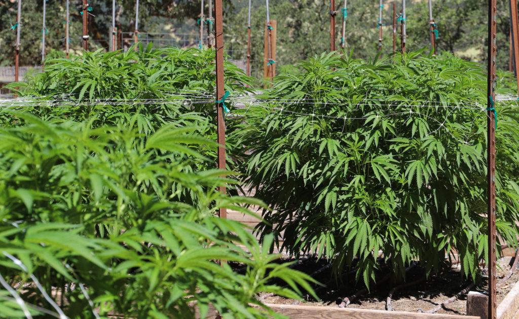 Cannabis In Jamaica Laws Rastafarians And More Info Sensi Seeds