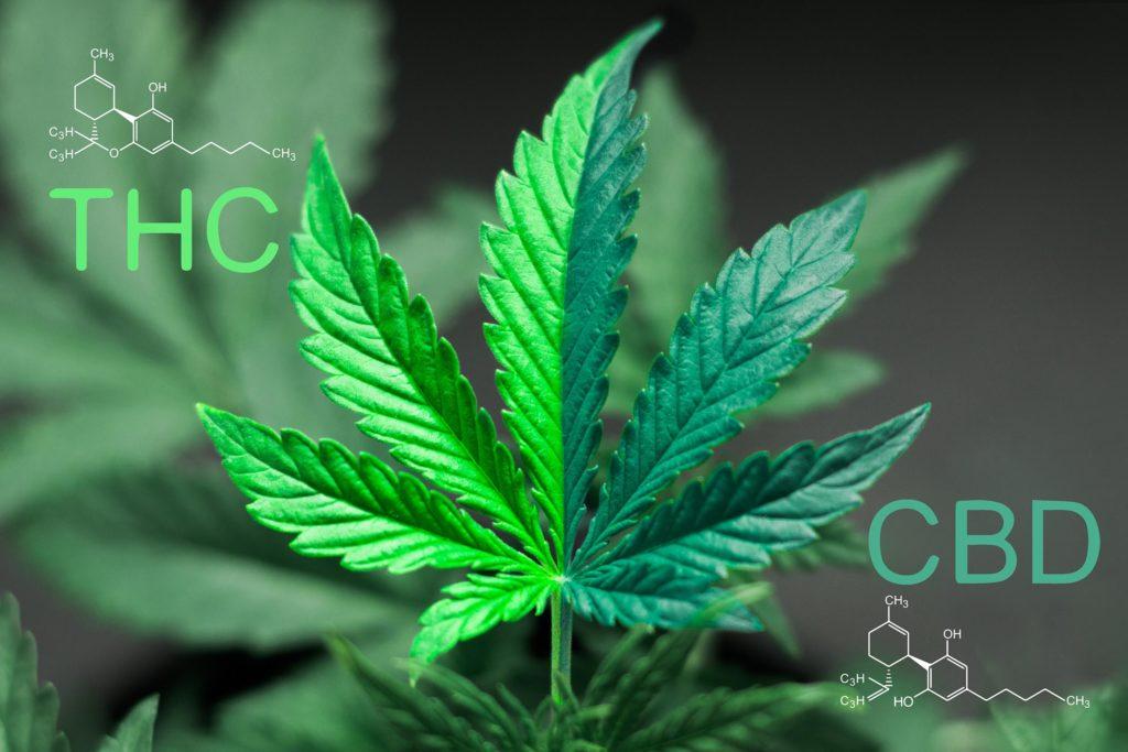 Une feuille de cannabis, demi vert clair et vert foncé