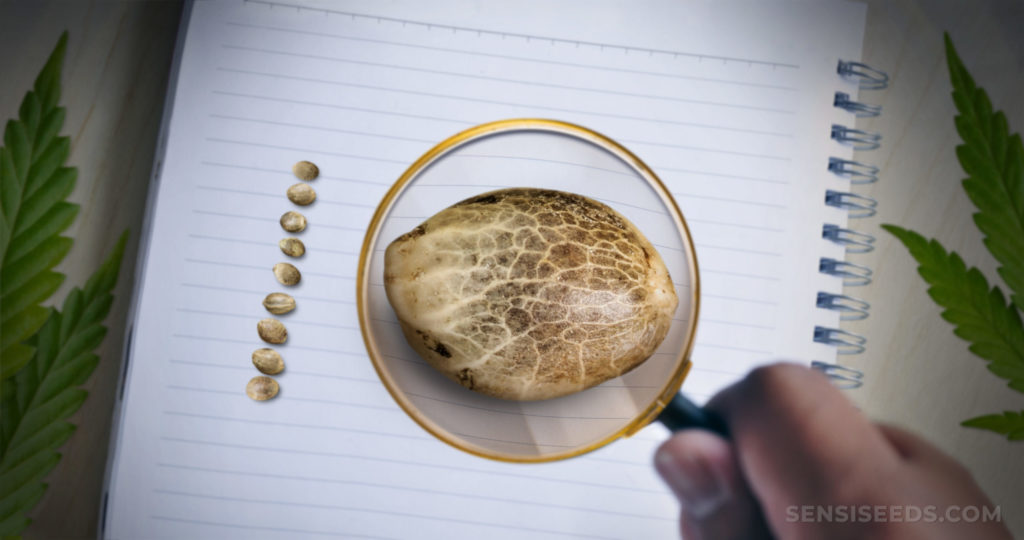 Una lupa ayuda a una semilla de cannabis que está descansando sobre una libreta blanca.