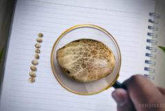 Un verre grossissant aidez jusqu'à une graine de cannabis qui repose sur un bloc-notes blanc