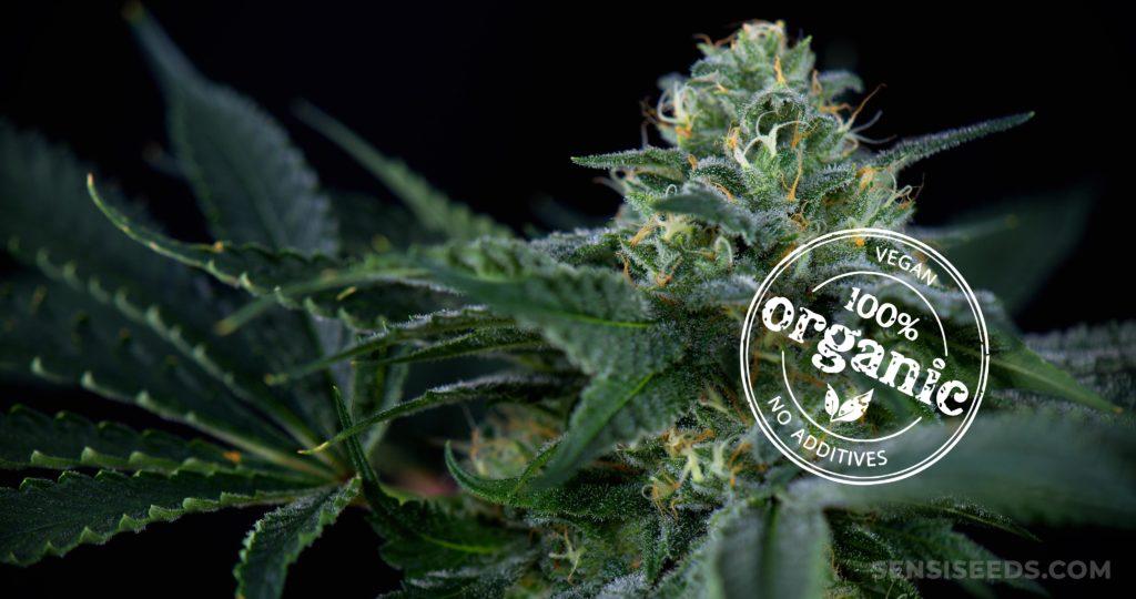 Eine Cannabis-Pflanze