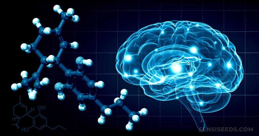 Die chemische Struktur von Cannabidivarin und ein Gehirnscan, der in blau hervorgehoben ist