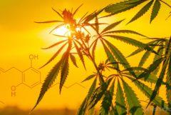 De chemische structuur van Cannabigerol en een cannabisplant voor een zonsondergang