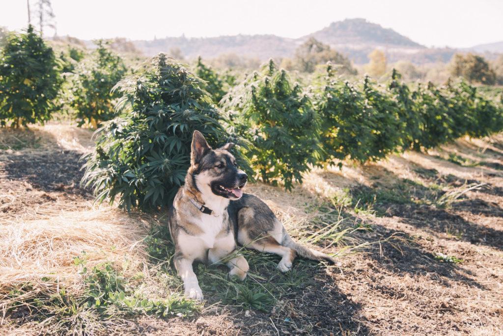 Ein Hund saß in einem Feld von Cannabis-Pflanzen