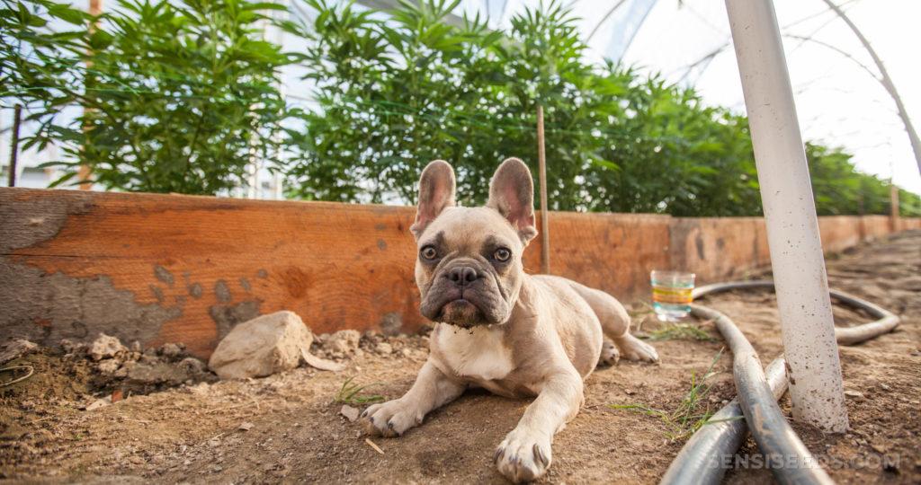 Eine französische Bulldogge, die draußen auf dem Boden liegt
