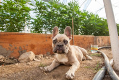 A french bulldog lying outside on the ground