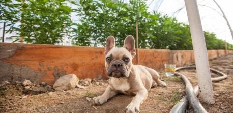 Un bulldog francés que miente afuera en el suelo