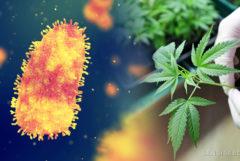 Le virus de la rage et une plante de cannabis