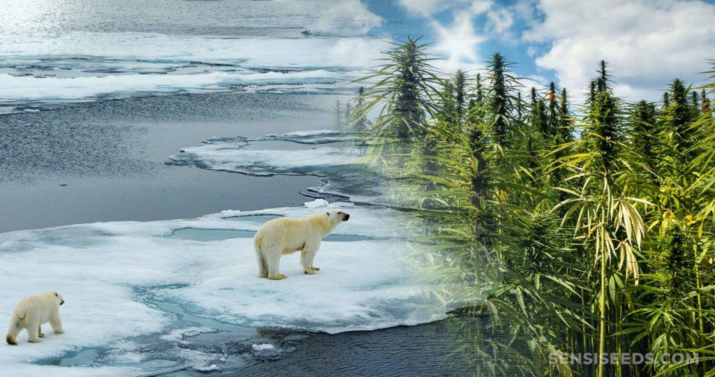 Dos osos polares caminando a través del hielo de fusión y un campo de las plantas de cannabis.