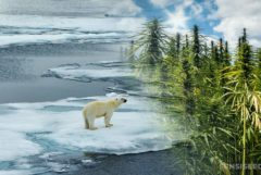 Two polar bears walking across melting ice and a field of cannabis plants