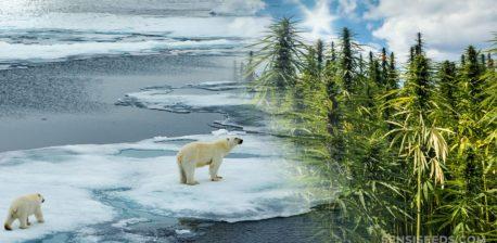 Zwei Eisbären, die über schmelzendes Eis und ein Feld von Cannabis-Pflanzen gehen