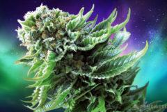 Nordlichter Automatische Cannabis-Belastung gegen die polaren Lichter im Hintergrund