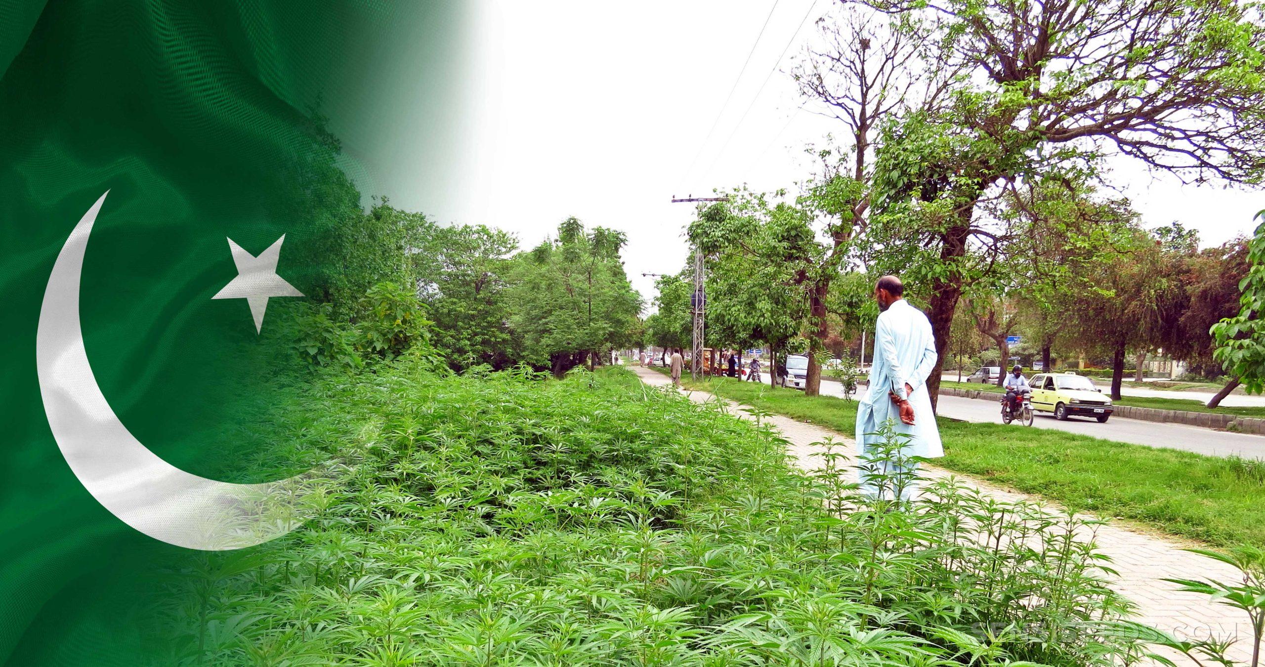 Le drapeau pakistanais et les plantes de cannabis poussent sur le bord de la route
