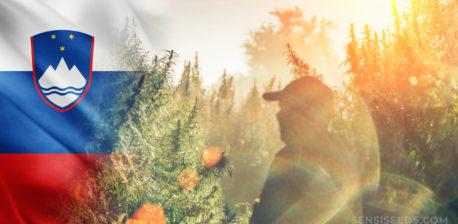 Die slowenische Flagge und die Silhouette eines Mannes in einem Feld von Cannabis-Pflanzen