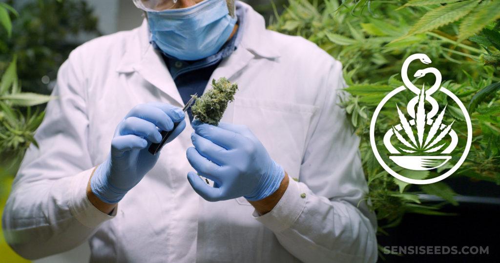 Un médecin portant des gants et un masque tenant un bourgeon de cannabis