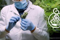 Ein doktor trägt Handschuhe und eine Maske, die eine Knospe von Cannabis hält