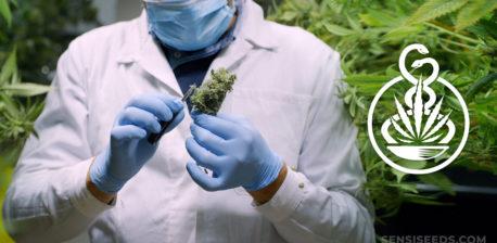 Un médico con guantes y una máscara con un capullo de cannabis.