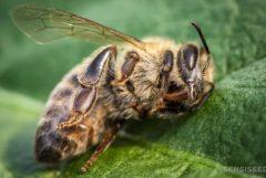 Eine Biene, die auf einem Blatt ruht