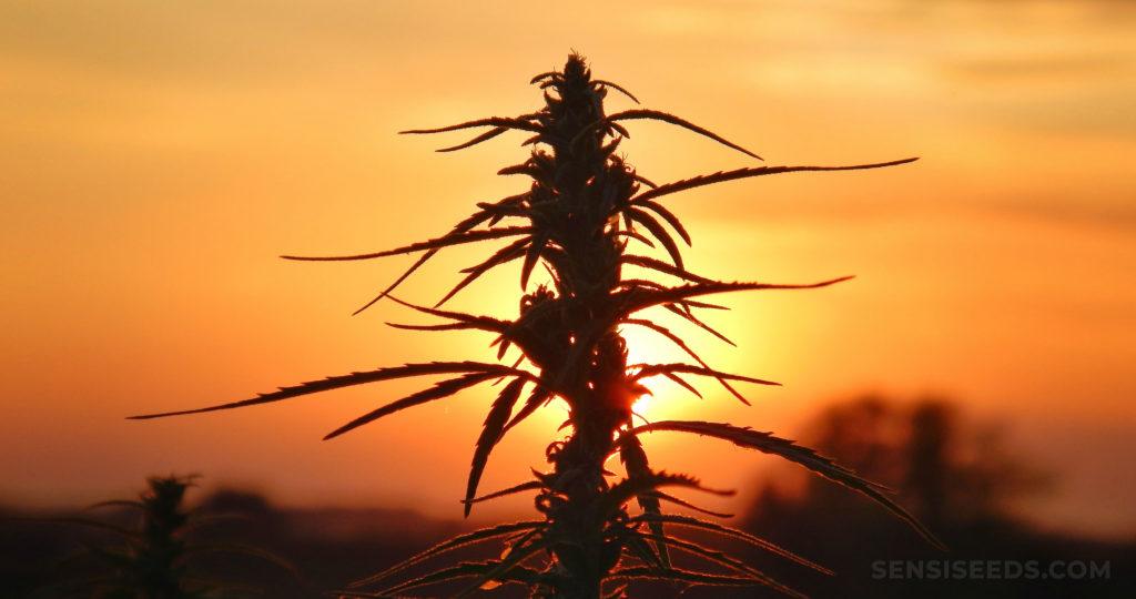 Eine Cannabis-Pflanze gegen einen Sonnenuntergang