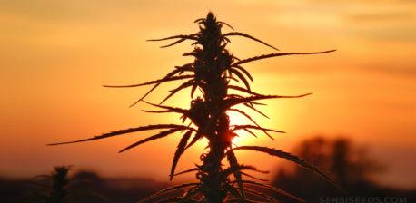 A cannabis plant against a sunset