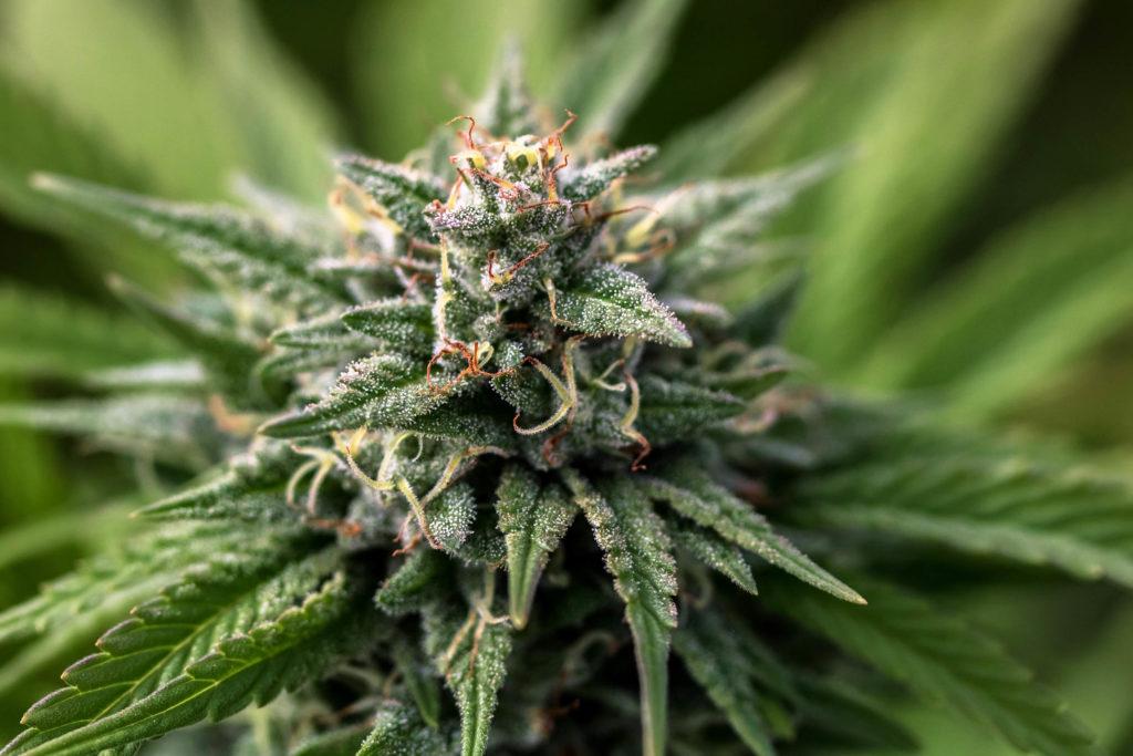 Planta de cannabis de oro colombiano