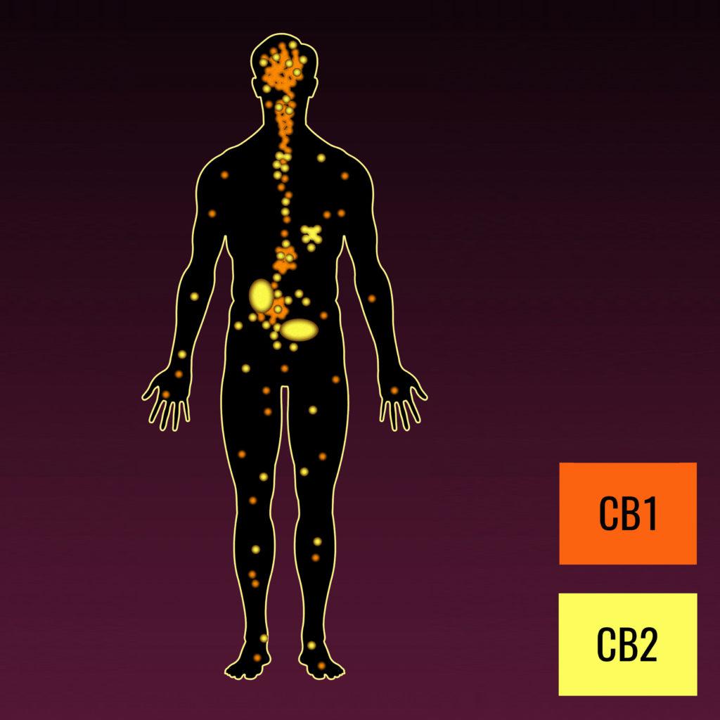 Un corps humain avec des récepteurs CB1 et CB2 mis en évidence en jaune et en orange