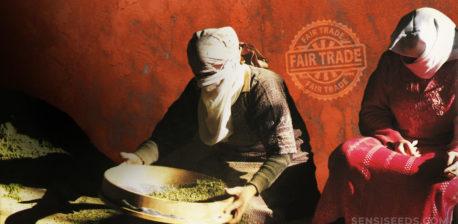 Afghaner Sieben-Cannabis drinnen