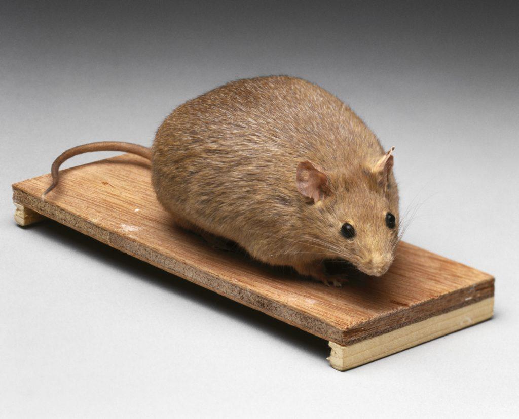 Une souris brune obèse sur une petite planche de bois