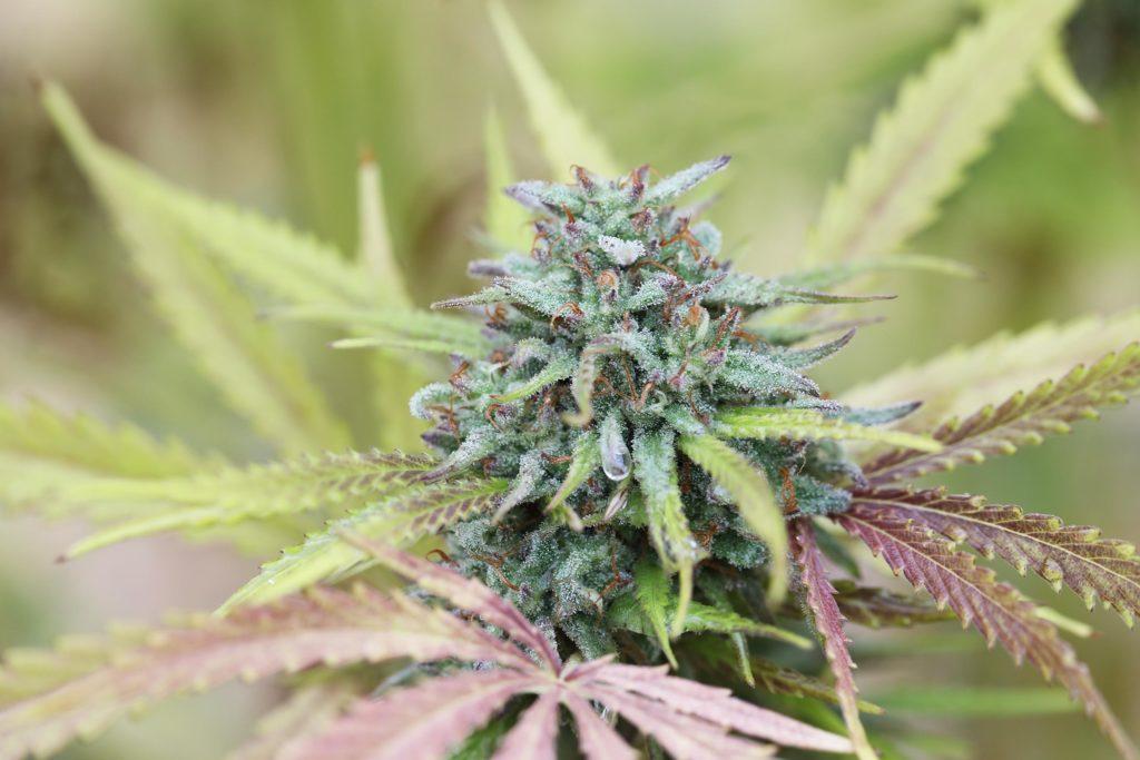 Una planta de cannabis con hojas púrpuras.