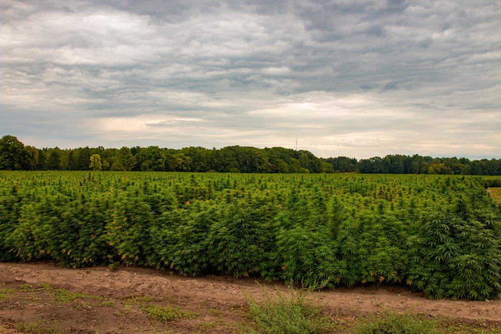 A field of cannabis plants