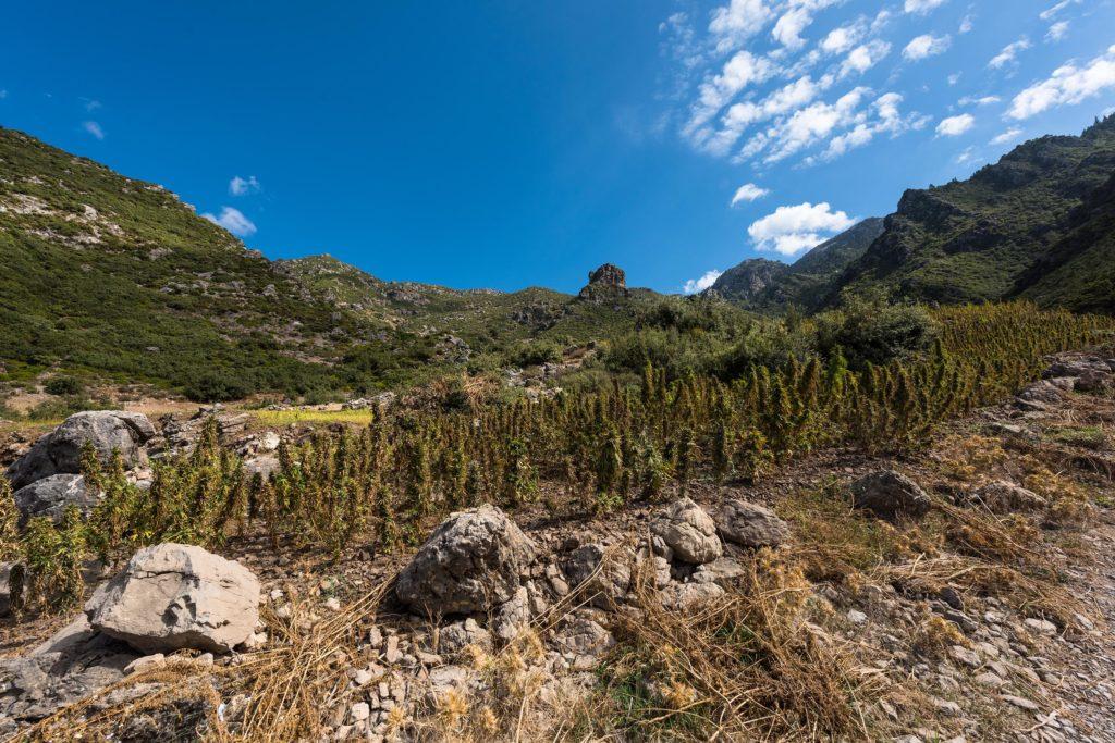 Cannabis planten groeien aan de kant van een berg