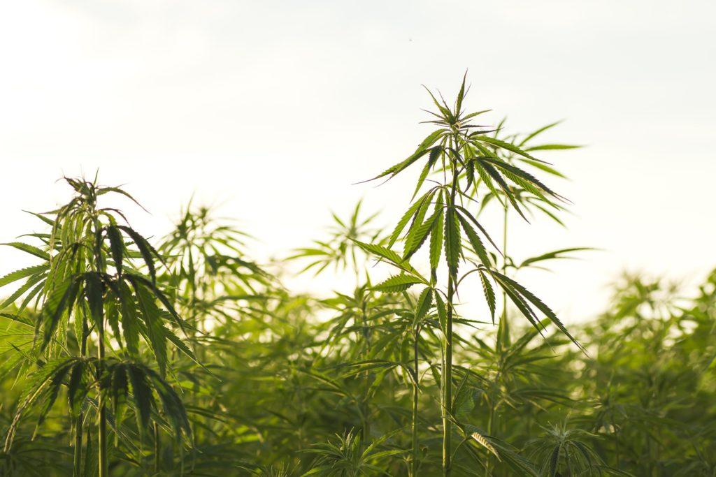Un champ de plantes de cannabis