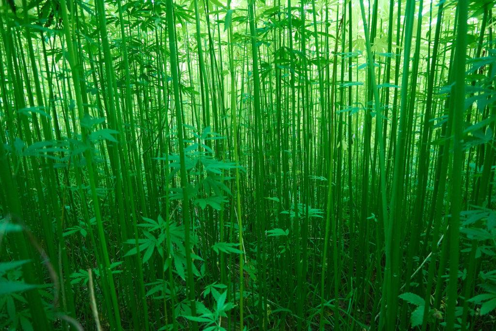 Plantas industriales de cáñamo que crecen afuera.