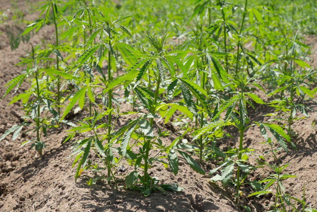 Un campo de pequeñas plantas de cáñamo.