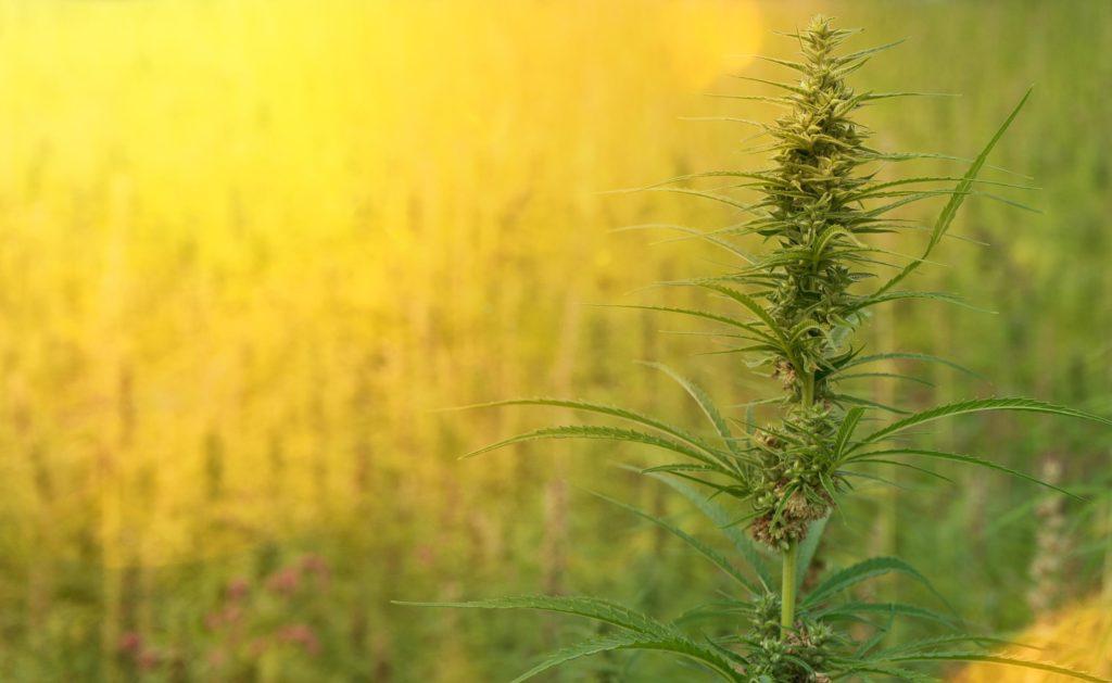 Een cannabisplant groeit in een veld
