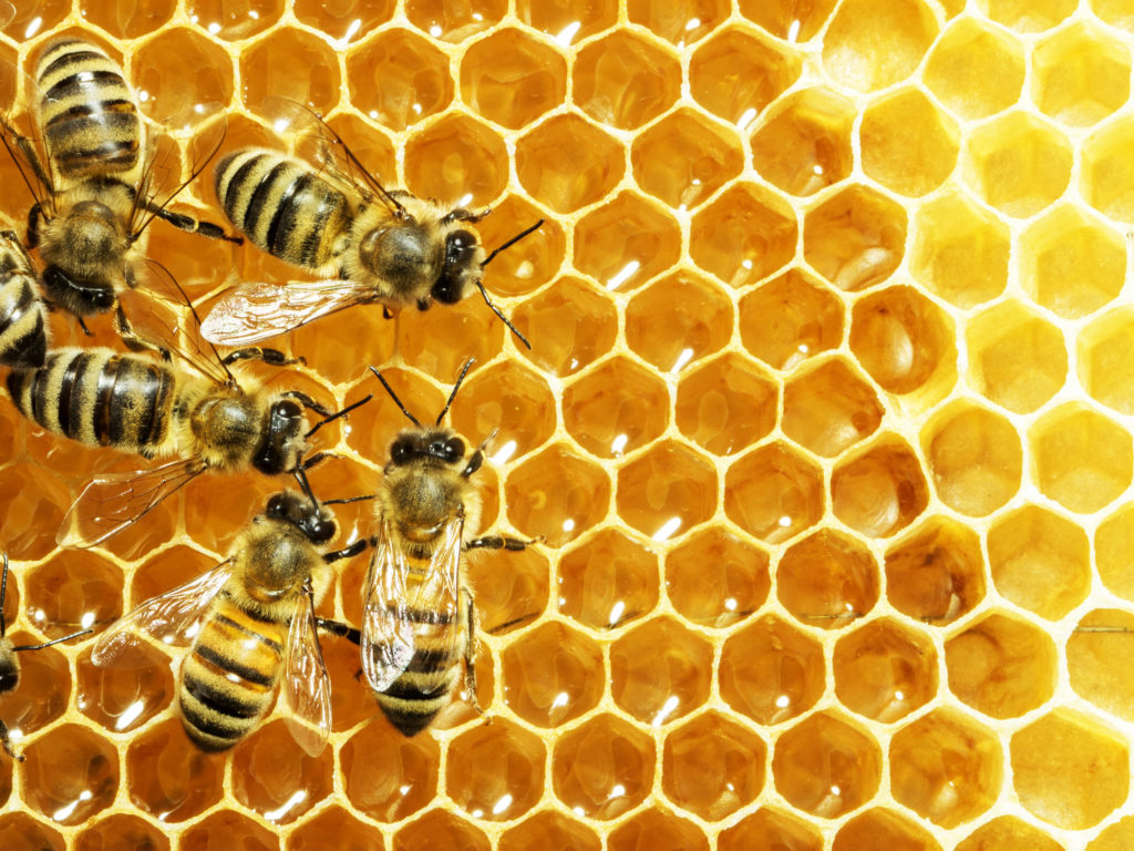 Honingbijen in hun bijenkorf