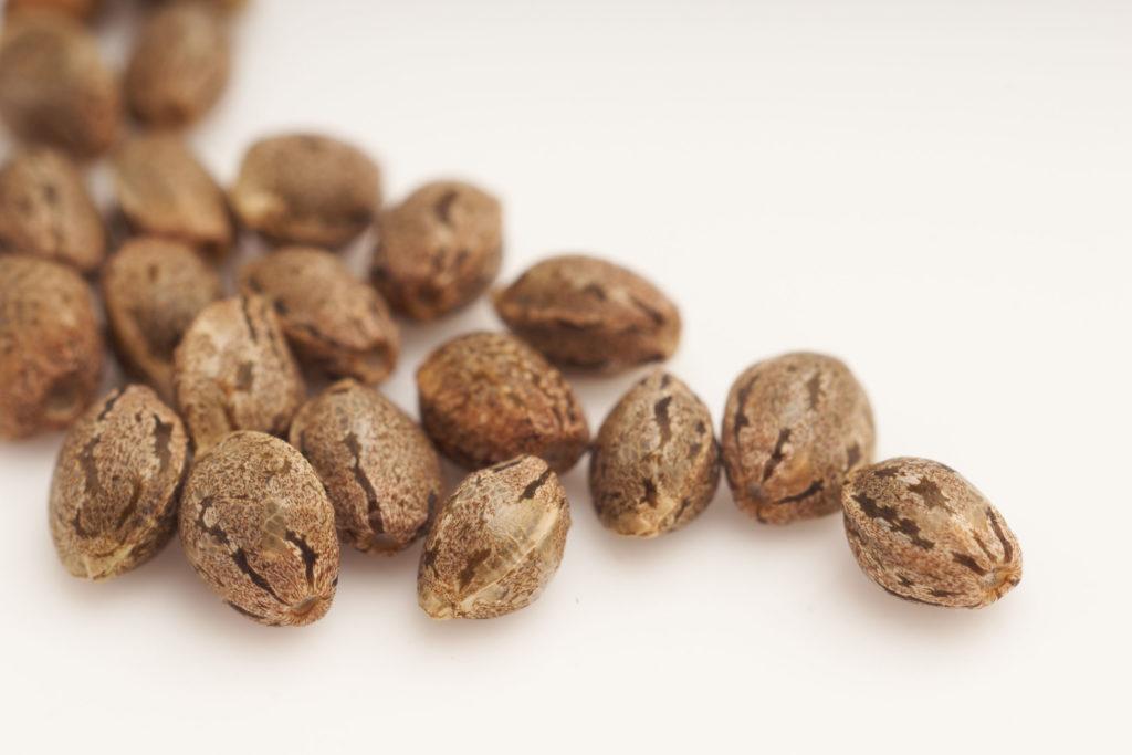 Varias semillas de cannabis se extienden sobre una superficie plana.
