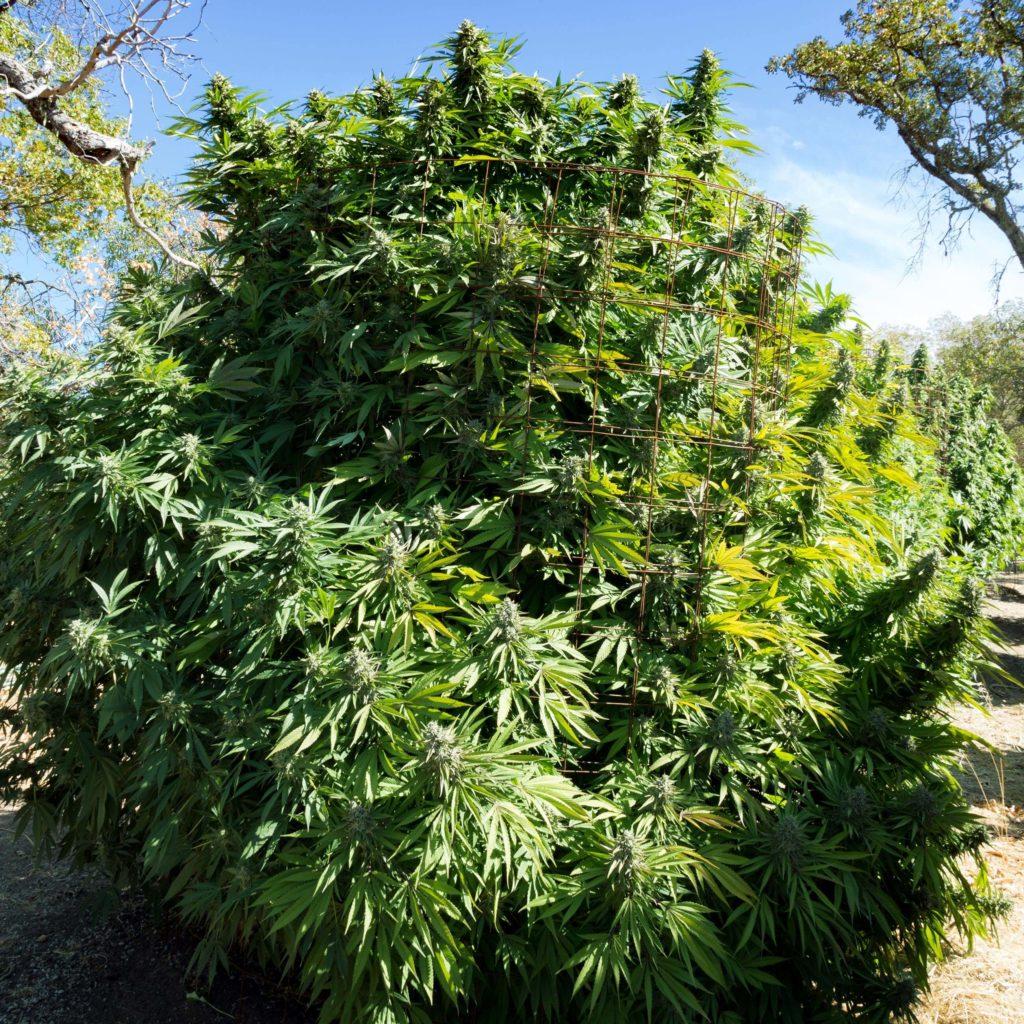 Ein großer Busch von Cannabis