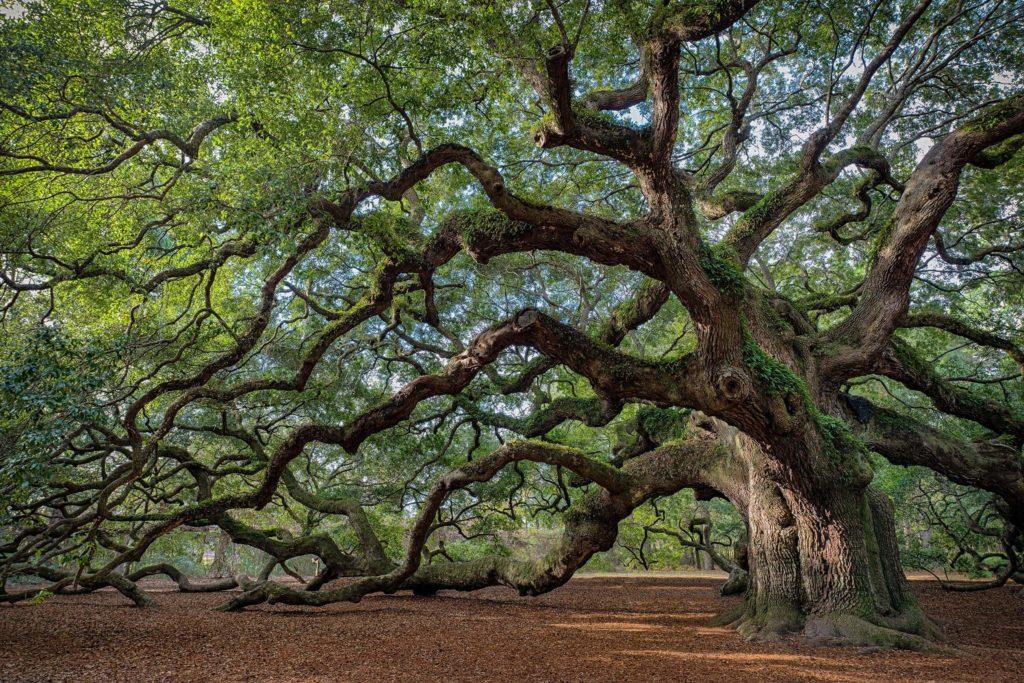 Un árbol grande y viejo