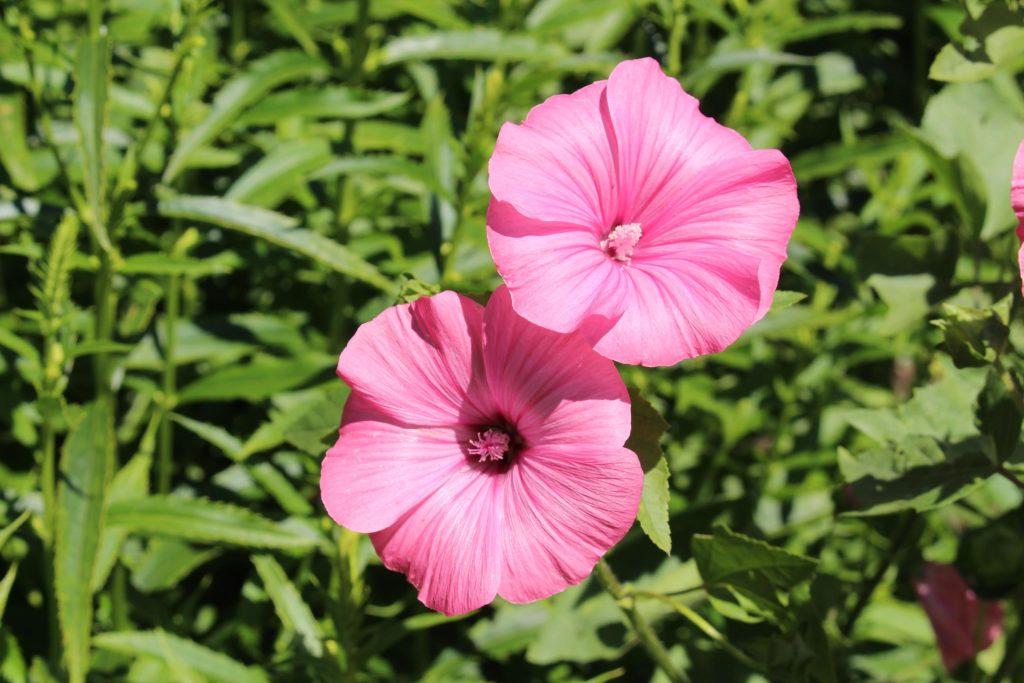 Zwei rosa Blumen, die von einer Anlage wachsen