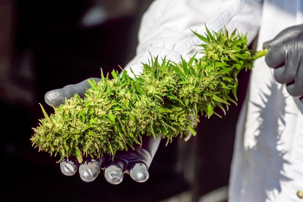 Une personne dans une manteau blanche tenant une grande plante de cannabis