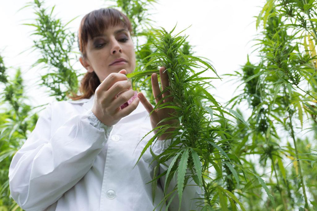 Una mujer en una capa blanca inspeccionando las hojas de una planta de cannabis.