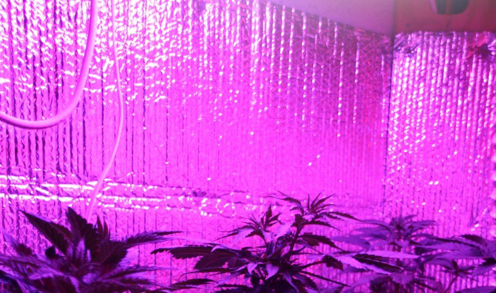 Cannabis wächst drinnen mit hellen rosa Lichtern