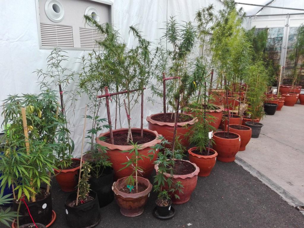 Plantes de cannabis poussant de cases rouges de taille différente