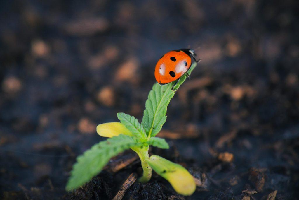 Ein Marienkäfer balanciert auf der Spitze einer sprütigen Pflanze