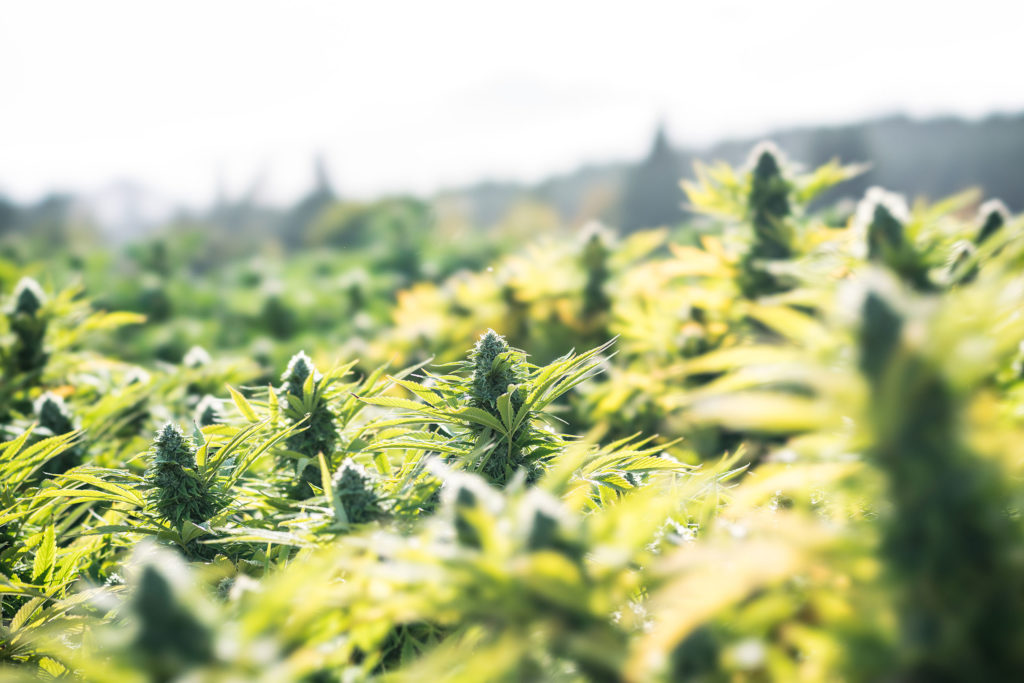 A field of cannabis plants outdoors