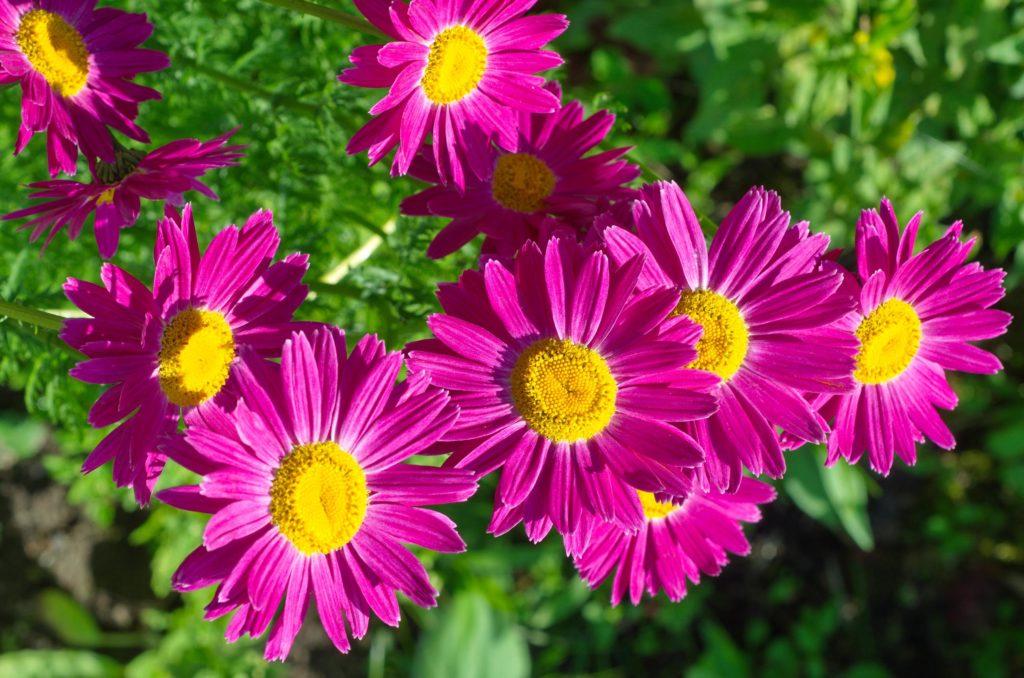 Helle lila Blumen mit gelben Zentren