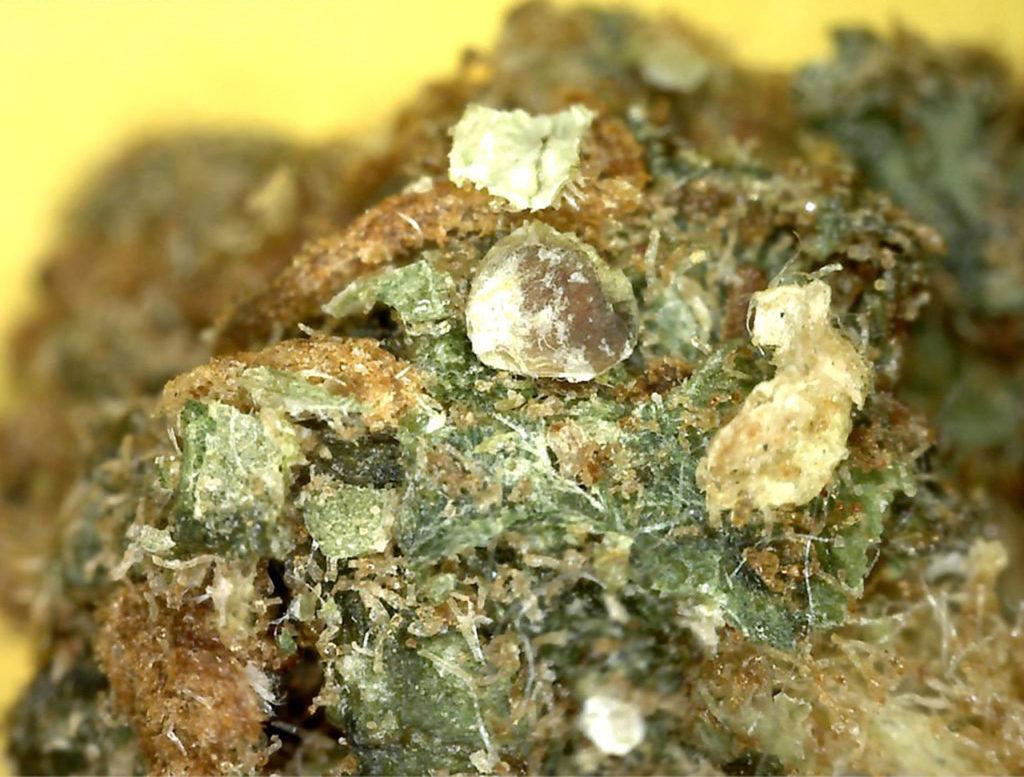 Cannabisknoppen met zandkristallen die eraan vastzitten