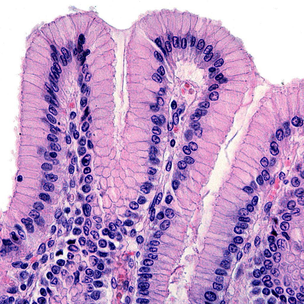 Une vue microscopique de l'épithélium