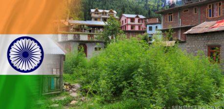 Die indische Flagge und Cannabis-Pflanzen, die in einem Dorf wachsen